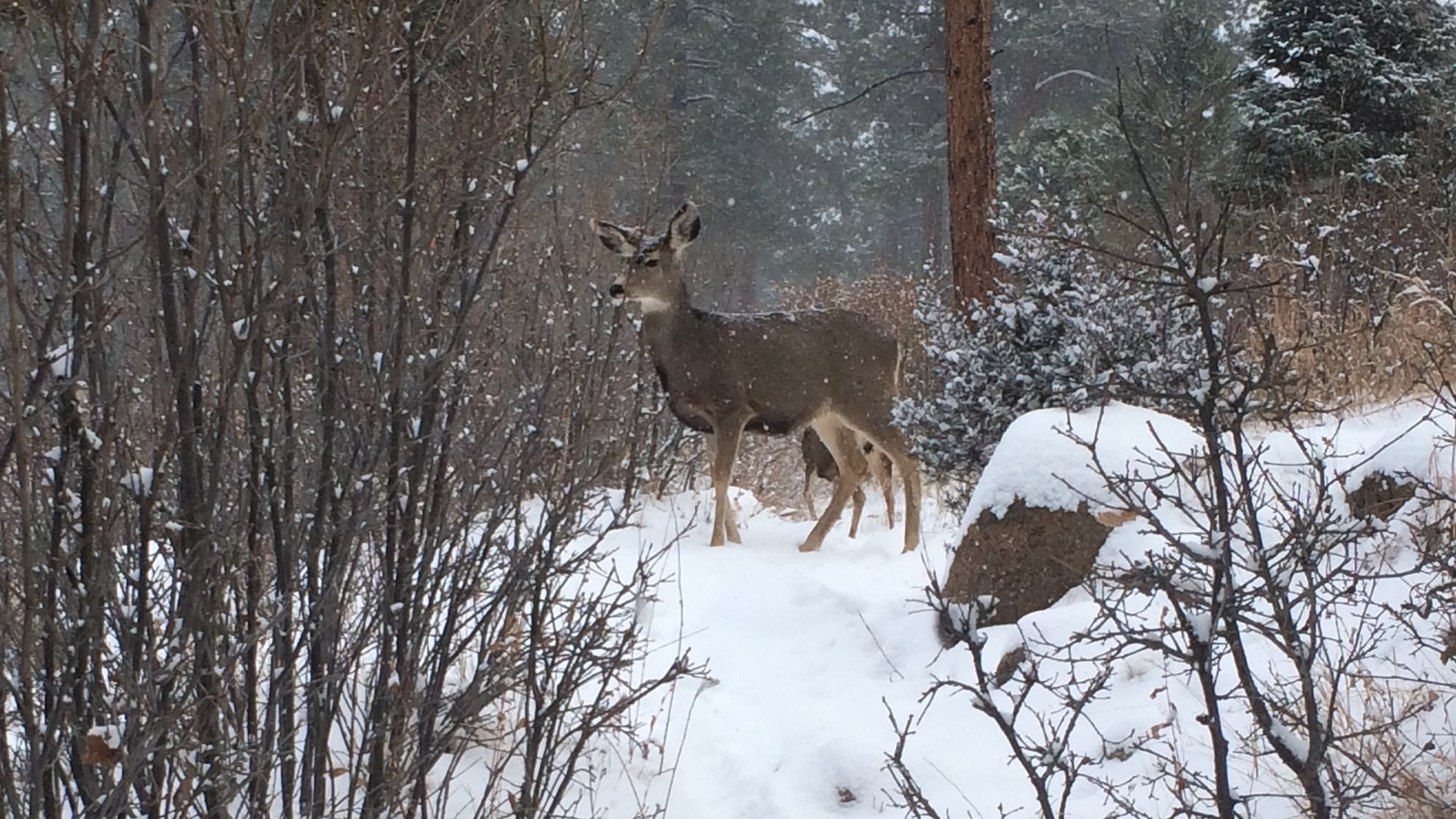 dec-17-deer-snow-cropped